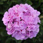 Ivy Geranium P. Lavender Blue