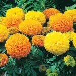 zmarigold antigua orange and yellow african type