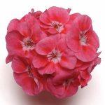 Geranium A. Pink Sizzle