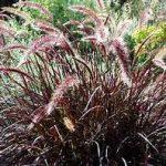 Grass Red Rubrum