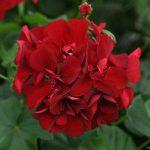 Ivy Geranium P. Ruby