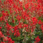 zsalvia jewel red humminbird fav