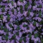 Scaevola Brilliant Blue