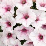 Petunia PW Vista Silverberry