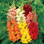 zsnapdragon sonnet tall mix