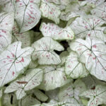 Caladium Strawberry Star