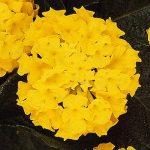 Lantana Lucky Yellow