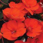Sunpatien Spreading Orange