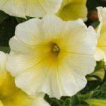 Petunia Sunspun Yellow