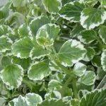 Plectranthus Wwedish Ivy