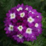 Verbena A. Violet Wink