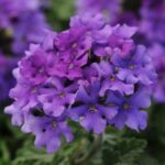 Verbena Enduro Blue
