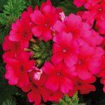 Verbean Lascar Hot Rose