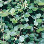 Mulenbeckia Wire vine