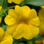 Calibrochoa C. Yellow