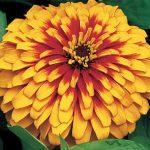 zinnia swizzle scarlet yellow