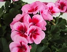 Geranium Rose Splash